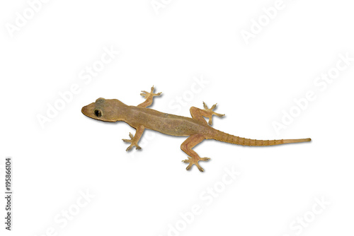House lizard isolated white background with clipping path. Tablou Canvas