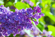 Flower spring background. Blooming beautiful bright lilac flowers lit by sunlight.