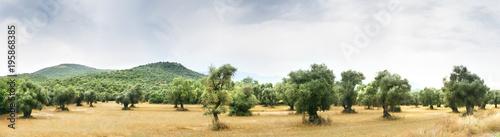 Foto op Aluminium Olijfboom Panoramic view of Olive Farm.