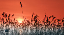 Dry Reeds Sunset  In Lacanau L...
