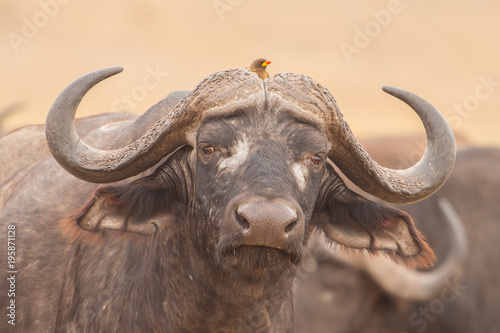 La pose en embrasure Bison Symbiosis: African buffalo with oxpeckers, Kruger Park, South Africa