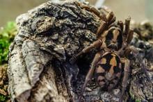 Tarantula Spider Exotic