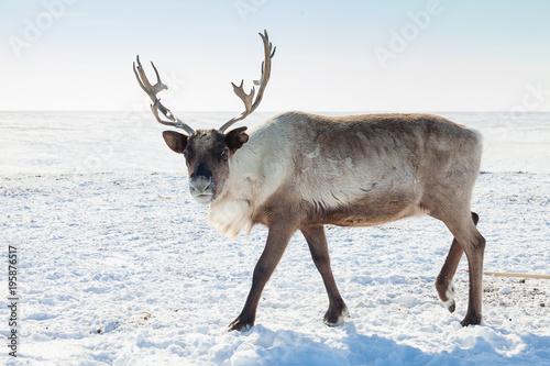 Fotografiet  Reindeer in winter tundra