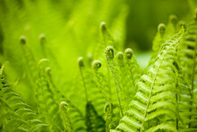 Beautyful Ferns Leaves Green F...