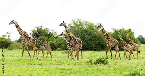 Fotobehang Giraffe herd of Masai Giraffe (Giraffa camelopardalis tippelskirchi or