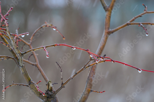 Fotografia, Obraz  MARCH TWIGS - Capricious weather in early spring