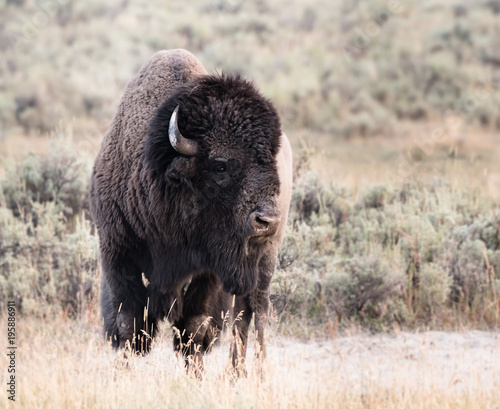 Foto op Canvas Bison Large Male Bison Looks Right