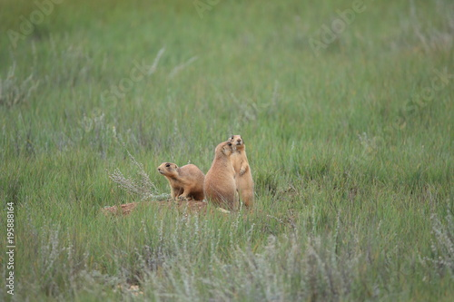Printed kitchen splashbacks Squirrel Utah Prairie Dog - Bryce Canyon National Park