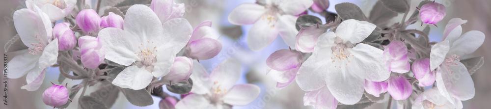 Fototapeta panorama spring landscape flowers of apple tree