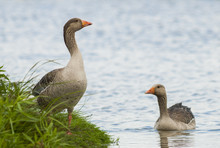 Couple Of Greylag Goose At The Uitkerkse Polders