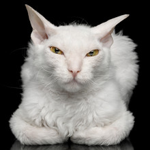 Close-up Narrow-eyed Sphynx Cat With White Fur Lying And Sly Looking In Camera Isolated On Black Background
