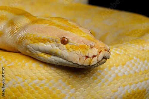 Close-up Head of Albino Python, Yellow skin