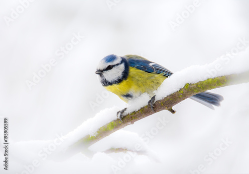 Blue tit bird sitting on a snow covered tree Canvas Print