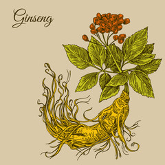 Plakat Ginseng root. Color. Engraving style. Vector illustration.