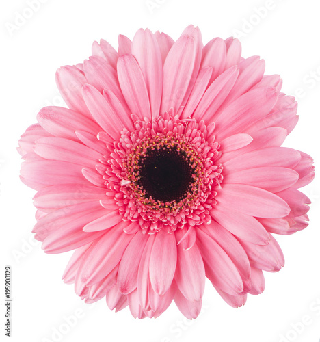 Aluminium Prints Gerbera pink gerbera flower isolated on white