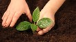 planting a young tree in a fertile soil