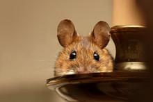 Wood Mouse (Apodemus Sylvaticu...