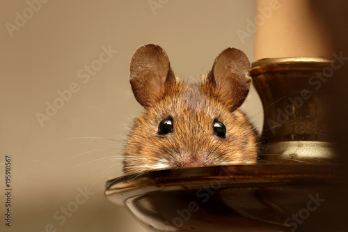 Fotografie, Obraz  Wood mouse (Apodemus sylvaticus) resting on a chandelier.
