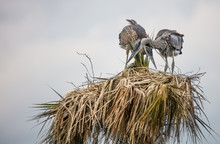 Juvenile Herons In Their Nest ...