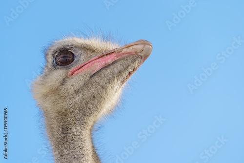 Foto op Aluminium Struisvogel ダチョウの顔 青空 (旭山動物園)