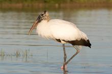 Wood Stork Wading And Feeding In The Shallow Waters Of The Lagoon