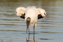 Wood Stork Wading And Feeding ...