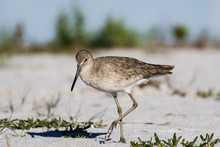 Willet Wading In The Shallow Water Of The Lagoon
