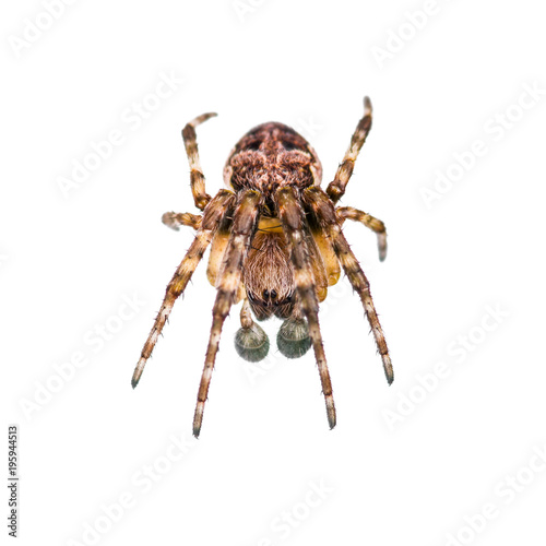 Crawling Spider Arachnid Insect Isolated on White Fototapeta