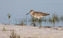 Willet Wading At The Edge Of T...