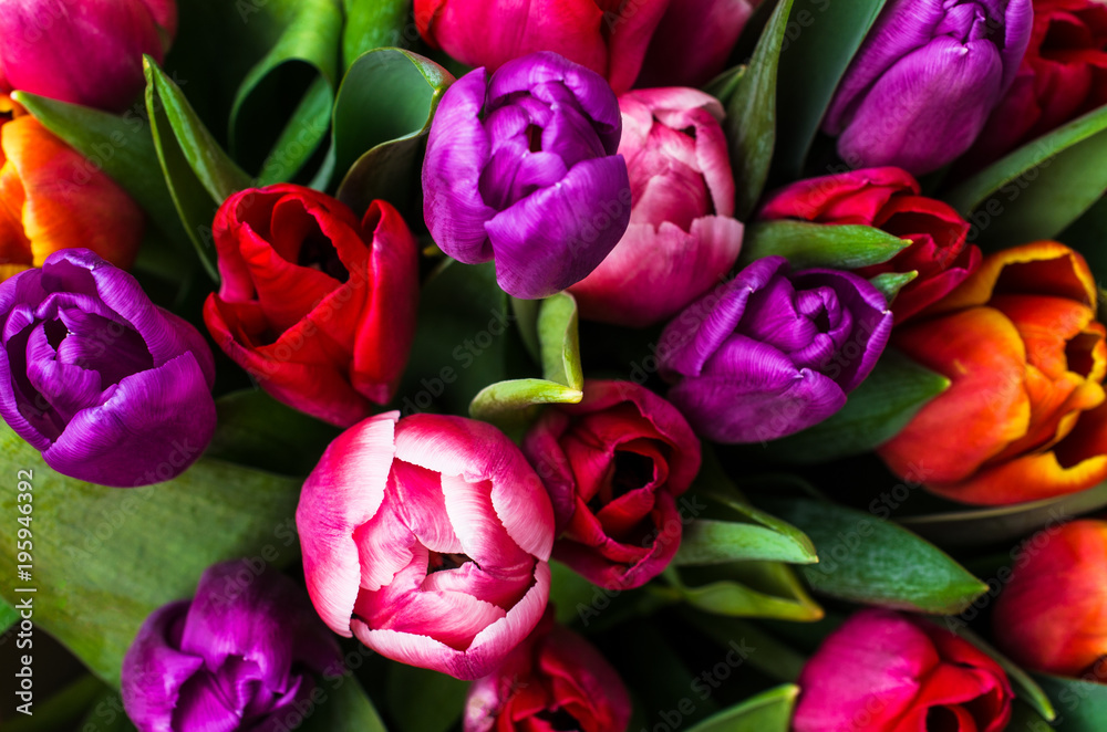 Fototapety, obrazy: Background from multi colored tulips