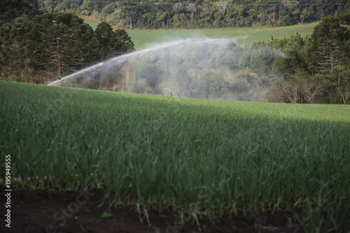 Foto op Canvas Olijf Irrigation of a garlic plantation, 'Freio Rogério' city / Brazil
