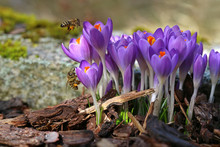 Macro Of Two Bees With Pollen Bags Approaching Crocuses In Spring