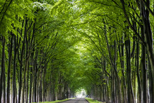 Tunnel Of Trees. Trees Grow Al...