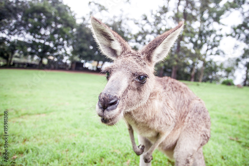 Spoed Foto op Canvas Kangoeroe kangaroo in Australia