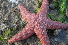5 Legged Red Starfish On Barna...