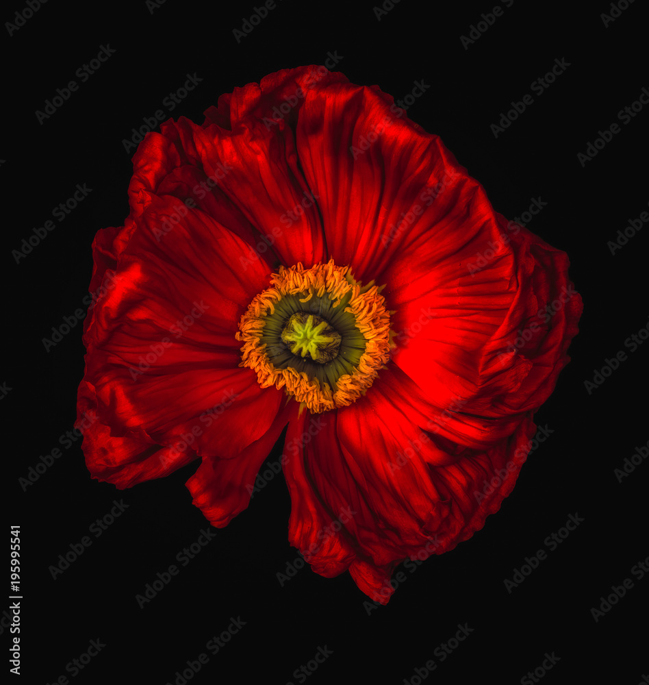 Fototapety, obrazy:  red glowing satin/silk poppy/papaver surrealistic macro on black background, floral fine art still life color wide opened isolated blossom with detailed texture