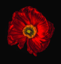Red Glowing Satin/silk Poppy/papaver Surrealistic Macro On Black Background, Floral Fine Art Still Life Color Wide Opened Isolated Blossom With Detailed Texture