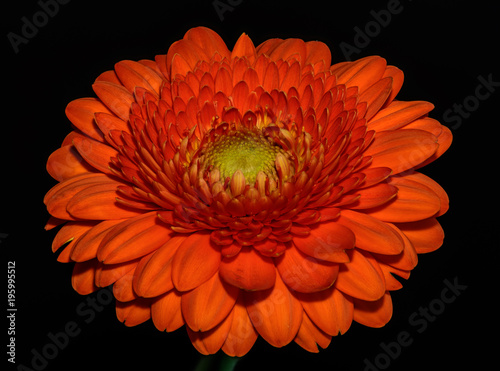 Fotobehang Gerbera Floral fine art still life detailed color macro flower portrait of a single isolated red gerbera wide opened blossom isolated on black background with detailed texture,front view