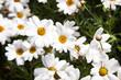 margaritas blancas o manzanilla con corolas amarillas movidas por el viento y mojadas por las gotas de lluvia recién caídas