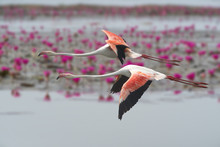 Flamingos Flying ,Beautiful Bird