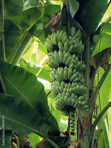 gros michel banana tree