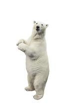 Standing Polar Bear. Isolated ...