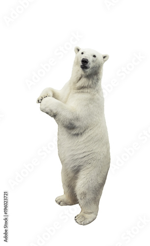 Wall Murals Polar bear Standing polar bear. Isolated over white background