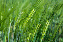 Green Barley Grass Field Detail