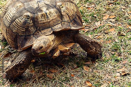 Photo  Gopher tortoise (Gopherus polyphemus