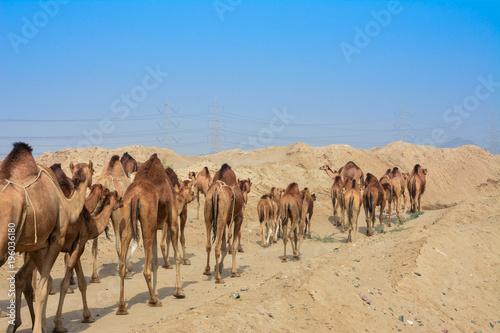 Poster de jardin Vache camels