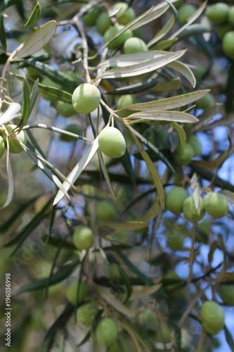Tuinposter Olijfboom Green Olives Tree
