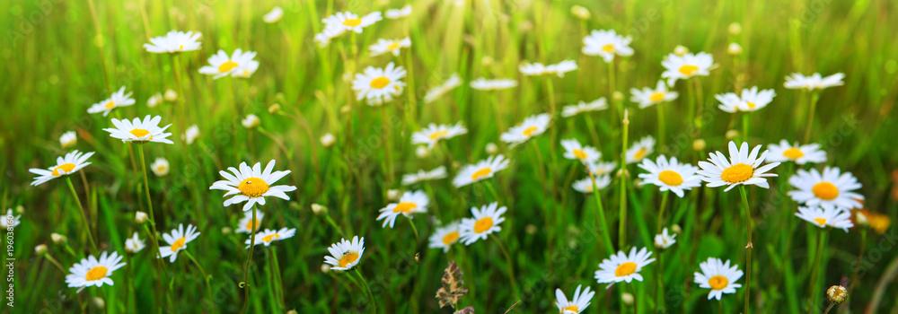 Fototapeta Daisy field in the sunny summer day.
