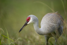 A Sandhill Crane Stands Low In Green Grass With A Thin Spider Web Stretched From Its Beak To The Grass With A Smooth Green Background.