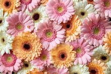 Natural Floral Background Of White, Pink, Orange Gerbera. Flower Concept